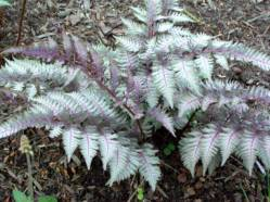 jap painted fern